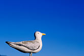 bird stock photography | California, Wooden Seagull, image id 5-790-82