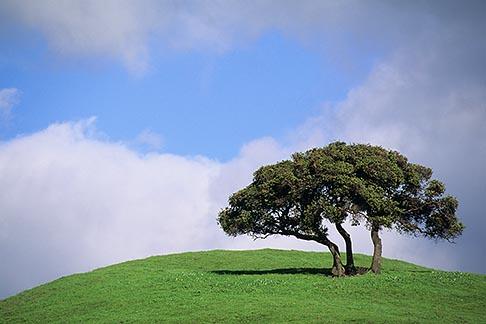 image 5-92-19 California, Contra Costa, Oak tree, Alhambra Valley Road