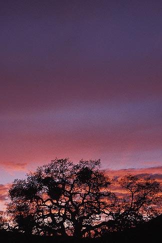 image 6-271-30 California, East Bay Parks, Tree at sunset, Black Diamond Mines