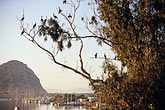 horizontal stock photography | California, Morro Bay, Cormorants in tree, Morro Rock, image id 6-470-56