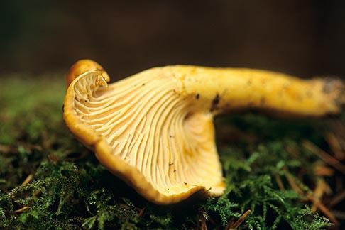 image 6-486-77 California, Mendocino , Chanterelle Mushroom Cantharellus formosus