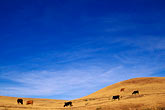 cows on hillside stock photography | California, Monterey County, Cows on hillside, image id 7-270-14
