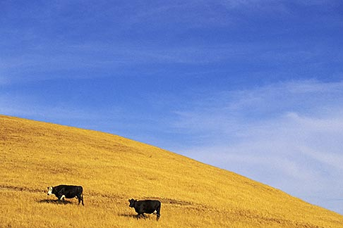 image 7-270-7 California, Monterey County, Cows on hillside