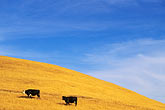 horizontal stock photography | California, Monterey County, Cows on hillside, image id 7-270-7