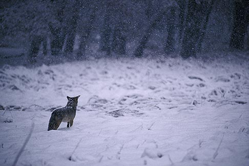 image 7-583-99 California, Yosemite National Park, Coyote in the snow