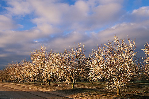 image 8-182-4 California, Modesto, Almond orchard in bloom