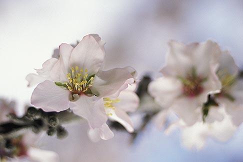 image 8-183-11 California, Modesto, Almond blossoms