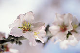 new growth stock photography | California, Modesto, Almond blossoms, image id 8-183-11