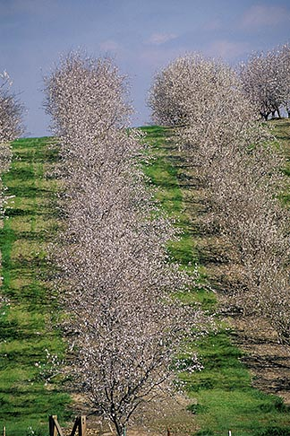 image 8-188-8 California, Modesto, Almond orchard in bloom