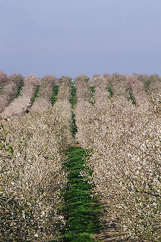 image 8-190-1 California, Modesto, Almond orchard in bloom