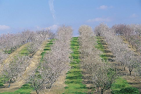 image 8-191-15 California, Modesto, Almond orchard in bloom