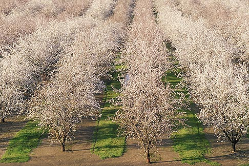image 8-192-5 California, Modesto, Almond orchard in bloom