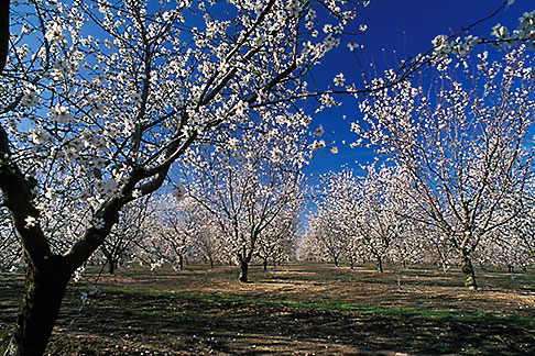 image 8-193-13 California, Modesto, Almond orchard in bloom