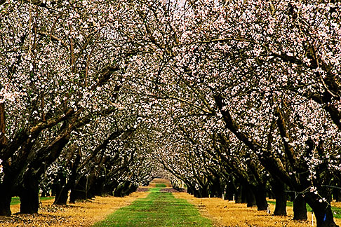 image 8-194-25 California, Modesto, Almond orchard in bloom