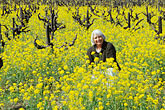 one person stock photography | California, Napa County, Vineyards and mustard flowers, image id 9-155-6