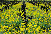 new wine stock photography | California, Napa County, Vineyards and mustard flowers, image id 9-159-20