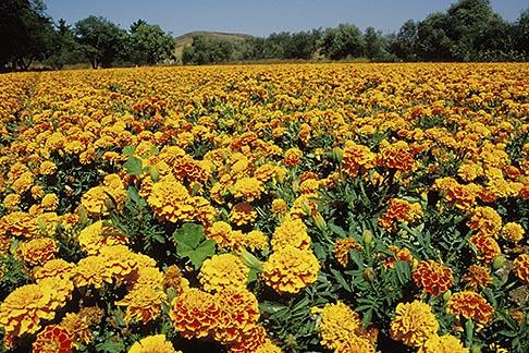 image 9-551-1 California, San Luis Obispo, Field of marigolds