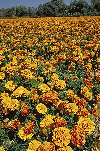 image 9-551-4 California, San Luis Obispo, Field of marigolds