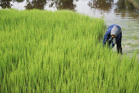 image 0-402-6 Cambodia, Rice harvest
