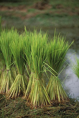 image 0-402-8 Cambodia, Rice harvest