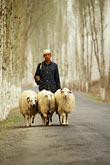one animal only stock photography | China, Gansu Province, Shepherd and sheep near Lanzhou, image id 4-134-10