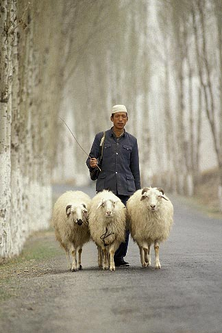 4-134-11  stock photo of China, Gansu Province, Shepherd and sheep