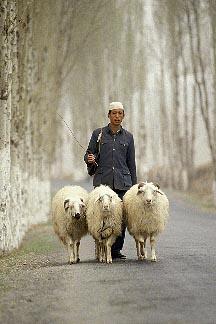 4-134-11  stock photo of China, Gansu Province, Shepherd and sheep