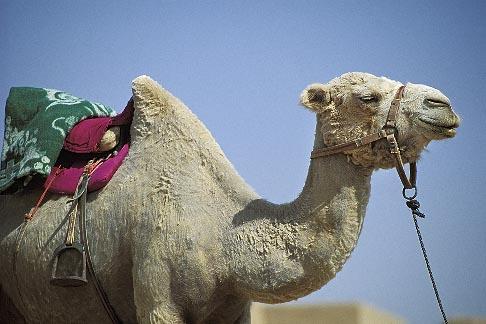 image 4-148-12 China, Turpan, Camel at ancient city of Gaochang
