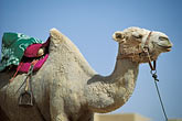 horizontal stock photography | China, Turpan, Camel at  ancient city of Gaochang, image id 4-148-12