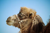 horizontal stock photography | China, Turpan, Camel at ancient city of Gaochang, image id 4-149-27