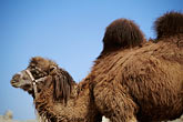 xinjiang stock photography | China, Turpan, Camel at ancient city of Gaochang, image id 4-149-65