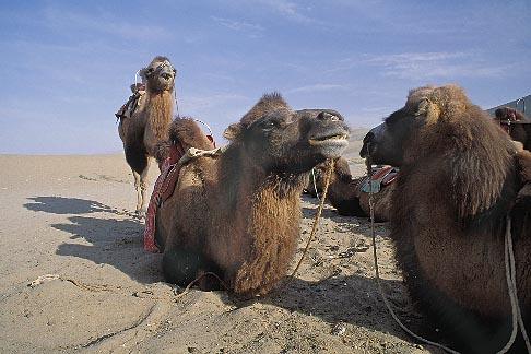 image 4-385-16 China, Dunhuang, Camels, Mingsha sand dunes