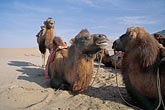 barren stock photography | China, Dunhuang, Camels, Mingsha sand dunes , image id 4-385-16