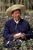 one mature man stock photography | China, Dunhuang, Farmer picking cotton in the fields, image id 4-390-17