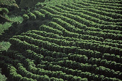 image 8-444-14 Costa Rica, Alajuela, Coffee plantation