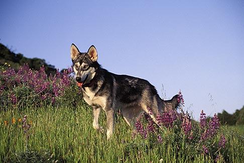 image 2-39-16 Dogs, Wolf hybrid and husky mix