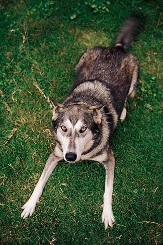 image 3-361-23 Dogs, Wolf hybrid and husky mix