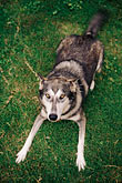 vertical stock photography | Dogs, Wolf hybrid and husky mix, image id 3-361-23