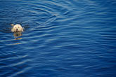 california stock photography | California, Poodle swimming, image id 8-390-94