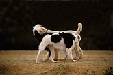 poodle stock photography | Dogs, Snowy, a male white standard poodle, image id 9-450-11
