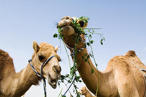 image 8-730-371 United Arab Emirates, Dubai, Two camels eating greens, low angle view