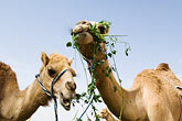 animal humor stock photography | United Arab Emirates, Dubai, Two camels eating greens, low angle view, image id 8-730-371