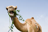 odd stock photography | United Arab Emirates, Dubai, Camel eating greens, low angle view, image id 8-730-373