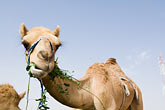animal humor stock photography | United Arab Emirates, Dubai, Camel eating greens, low angle view, image id 8-730-374