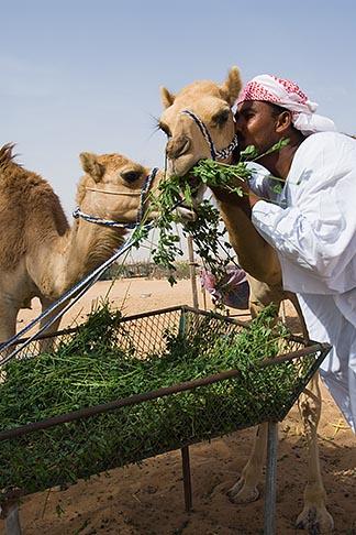 image 8-730-383 United Arab Emirates, Dubai, Camels with camel keeper