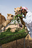 vertical stock photography | United Arab Emirates, Dubai, Camels with camel keeper, image id 8-730-383