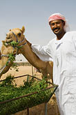 vertical stock photography | United Arab Emirates, Dubai, Camelkeeper with camels feeding, image id 8-730-384