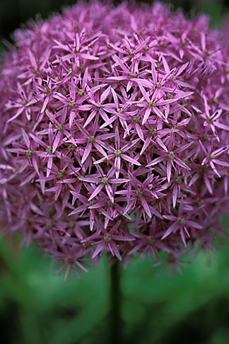 image 3-750-39 England, Chelsea Flower Show, Allium Globemaster, The Walled Garden, McKelvey Wise Garden Design
