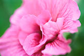 floral display stock photography | England, Chelsea Flower Show, Petunia, Viva Double Pink, image id 3-754-36