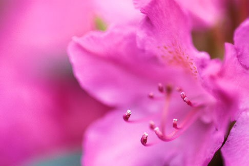 image 3-754-47 England, Chelsea Flower Show, Rhododendron Rosea elgans